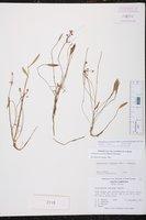 Helanthium tenellum image