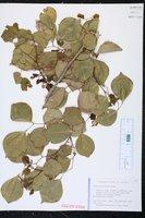 Dalbergia sissoo image