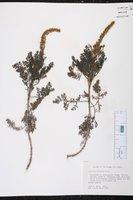 Ambrosia hispida image