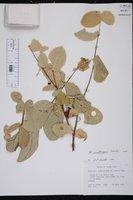 Image of Malpighia woodburyana