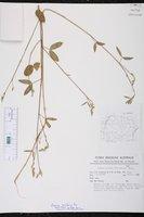 Zornia latifolia image