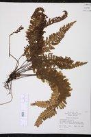Trichomanes crispum image