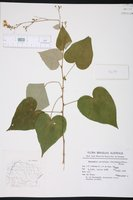 Image of Wissadula parviflora