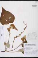 Image of Croton urucurana