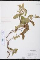 Image of Marsdenia bourgeana