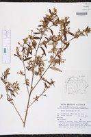 Image of Croton tenuissimus