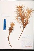 Cyperus pedunculatus image