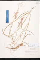 Melinis repens image