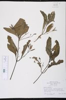 Ruellia nudiflora image