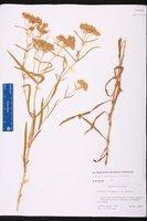 Flaveria floridana image