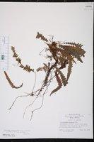Lomaridium fragile image