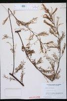 Acacia cardiophylla image