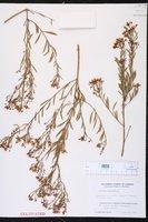 Image of Boronia denticulata