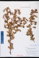Berberis truxillensis image