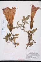 Brugmansia sanguinea image