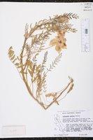 Image of Astragalus gruinus