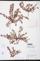 Euphorbia dioeca image