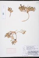 Image of Astragalus circumdatus