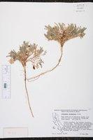 Astragalus circumdatus image