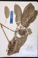 Image of Schefflera troyana