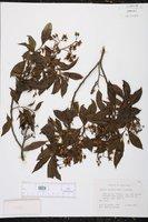 Solanum storkii image
