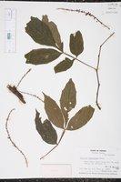 Paullinia fasciculata image