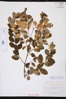 Image of Phyllanthus nivosus