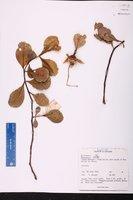 Sonneratia alba image