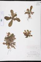 Gesneria cuneifolia image