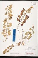 Glandularia maritima image