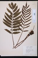 Danaea jamaicensis image
