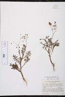 Image of Solanum multifidum