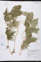 Selaginella plana image