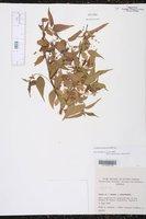 Image of Acalypha leptopoda