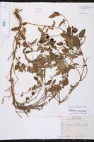 Solanum caripense image