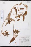 Image of Gonolobus macranthus