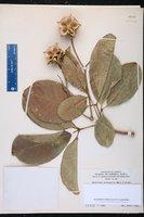 Image of Esenbeckia pentaphylla