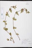 Ruellia geminiflora image
