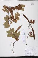 Bauhinia macranthera image