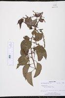 Image of Plukenetia volubilis