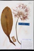 Scadoxus multiflorus image