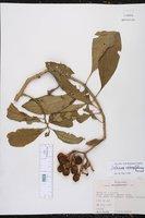 Solanum oblongifolium image