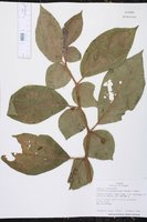 Witheringia asterotricha image