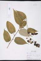 Wissadula excelsior image