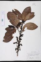 Schlegelia parasitica image