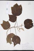 Image of Heliocarpus popayanensis
