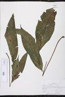 Image of Bolbitis nicotianifolia
