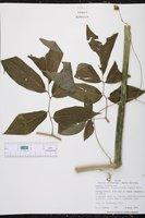 Solanum diversifolium image