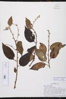 Varronia spinescens image