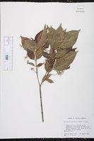 Image of Anisomeris protracta
